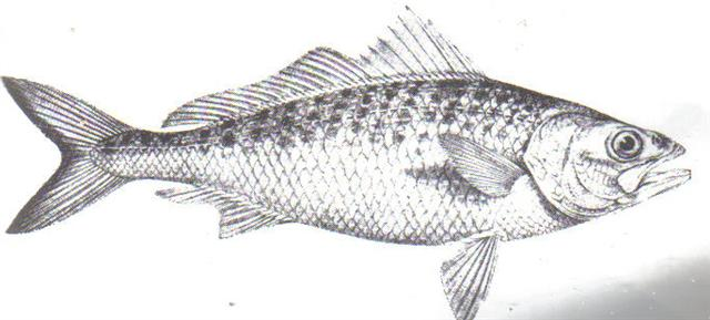 arripis_georgianous_aust_herring_tommy_ruff_small_592.jpg