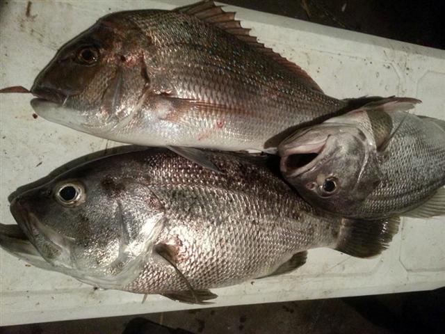 Jewfish and Pink Snapper.jpg